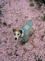 1504八重桜 (2).jpg