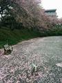 1504八重桜 (3).jpg